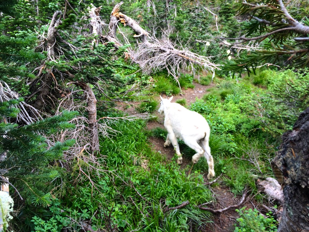 Goats at the top of logan pass